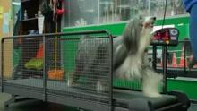 俄罗斯新开宠物健身房 跑步机水中有氧一应俱全