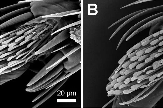 热带臭虫的胫骨垫能帮助它们轻松逃离陷阱装置