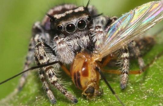 如果地球上没有蜘蛛:每年多8亿吨昆虫!