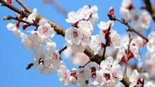 吐鲁番乡间杏花盛开 新疆的春天这里最先到
