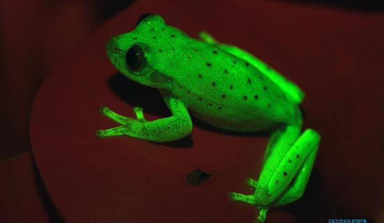 """阿根廷发现世界上第一种""""荧光蛙"""""""