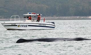 边防官兵救助受伤抹香鲸