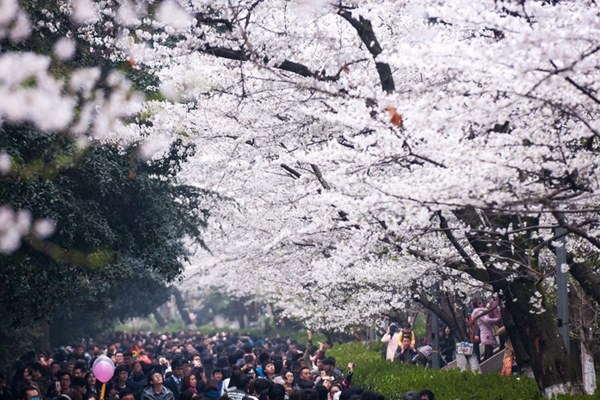 武大樱花盛装迎客 游客虽多次序井然