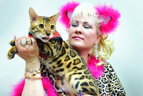 吉尔吉斯斯斯坦猫展 孟加拉豹猫酷到炸