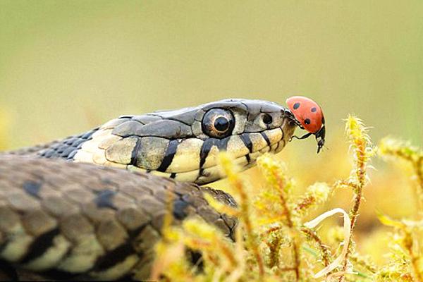 英摄影师罕见抓拍:大胆瓢虫草蛇鼻尖上散步