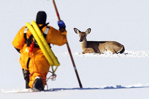 美国一小鹿被困结冰湖面24小时后获救