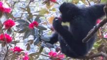 罕见!西黑冠长臂猿野外享受鲜花宴
