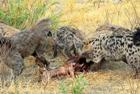 鬣狗与野狗上演抢食大战