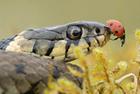 大胆瓢虫草蛇鼻尖上散步