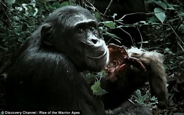 """""""丛林斗士""""黑猩猩吃猴子并与同类厮杀"""