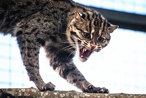 英动物园罕见渔猫 龇牙咧嘴活泼好动
