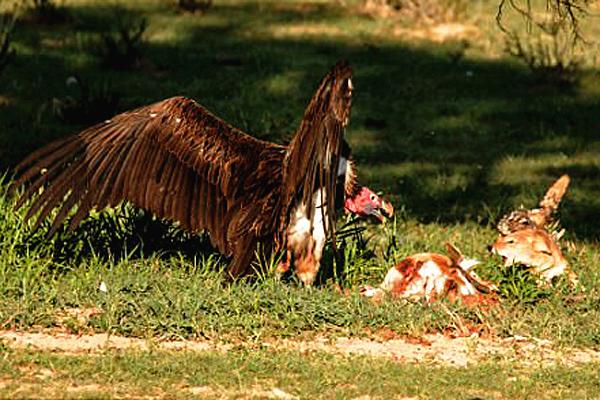 南非秃鹫为抢食飞扑胡狼展开激烈搏斗