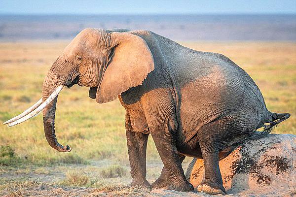 肯尼亚小象学妈妈在白蚁丘上蹭痒憨趣可爱