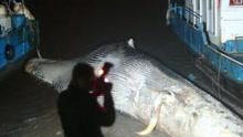 渔民长江口发现死鲸:鱼鳍被割