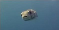 实拍小河豚主动求摸头杀 潜水员被萌翻了