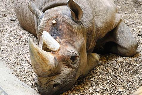 捷克一动物园为防偷猎锯掉犀牛角