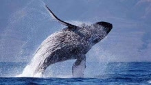 """夏威夷座头鲸靠近游船 摆鳍似与游客""""打招呼"""""""