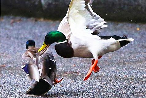 胆大包天!两鸭子在英国首相府前激战