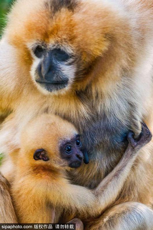 法动物园稀有长臂猿 幼崽紧紧依偎母亲