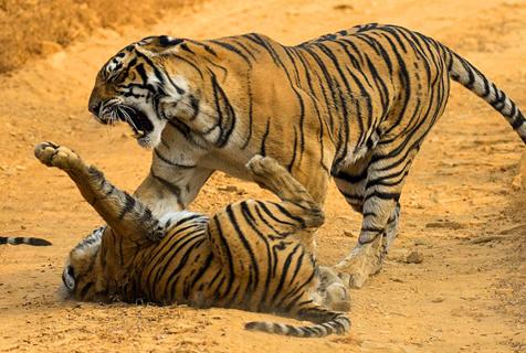 印度淘气虎崽惹妈妈生气 惨遭教训