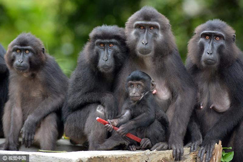 当地时间2017年3月6日,印尼栋加拉,黑猩猩是猩猩科中最小的种类为灵长类动物。由于栖息地的碎片化和人为破坏,使栖息环境极度恶化,造成该物种种群濒危。 声明:图片由CFP视觉中国供本网专稿,任何网站、报刊、电视台未经CFP视觉中国许可,不得部分或全部转载,违者必究!