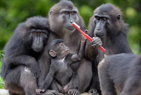印尼小猩猩手拿牙刷呆萌