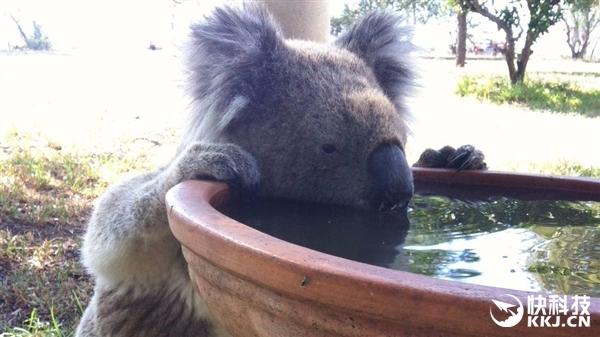 气候变暖致考拉改变习性:从不喝水的它们渴得没办法了