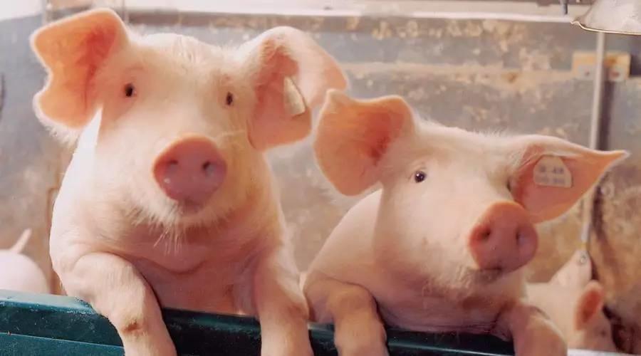 猪血、猪脑、猪大肠……猪的什么部位不能吃?