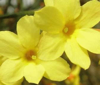 春天的这朵花,原来在防病治病上有这么多好处,心血管病、咽喉不适都可以用它!