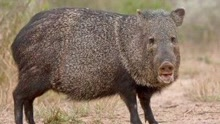 村民意外捕获百斤野猪 竟然独自背下山