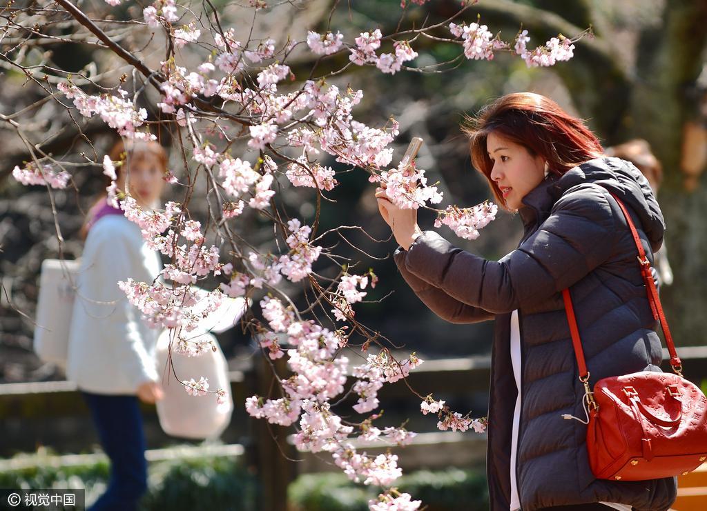 日本东京樱花绽放 游客公园赏花忙留影