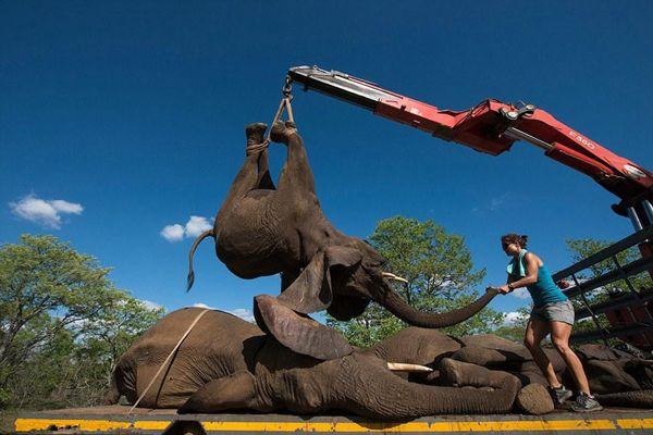 """南非自然保护区4吨重大象被吊起装车送""""回家"""""""