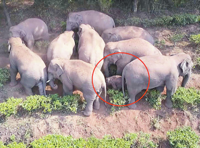 无人机跟踪受伤小野象