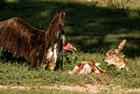 南非秃鹫与胡狼激烈搏斗