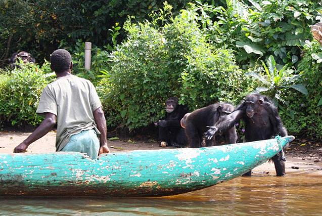 哭笑不得!科研黑猩猩伸手向志愿者要食物