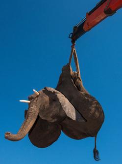 """南非象群""""越狱"""" 被起重机吊起捉回"""