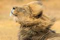 画面太美!南非雄狮风中抖动鬃毛潇洒帅气