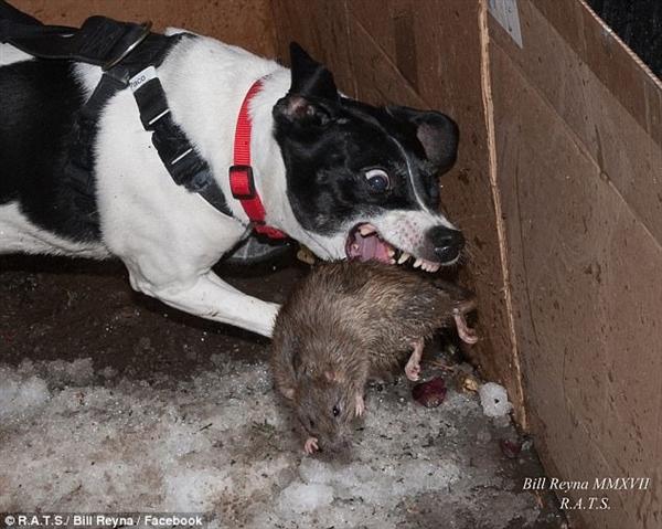 美国汪星人夜晚上街义务灭鼠:比猫还狠