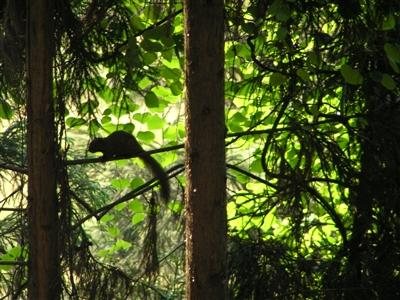 四川多地人工林松鼠泛滥 沐川上千亩柳杉树被啃