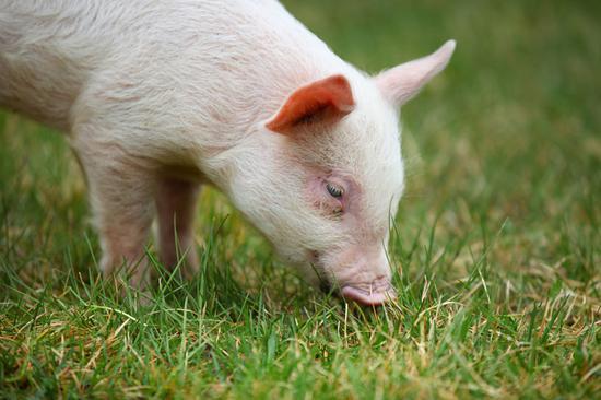 """破解""""猪周期""""怪圈 加快生猪期货上市步伐"""