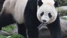 """大熊猫""""宝宝"""":我在家乡过得好"""