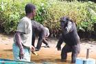 黑猩猩伸手向人要食物