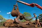 象群逃跑被起重机捉回