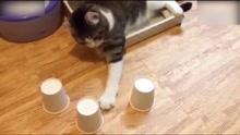 喵星人的另一绝活 堪称猫界赌神
