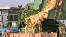 种玉米收入少?玉米大县有新招