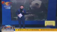 能歌善舞!这群熊猫来自娱乐圈