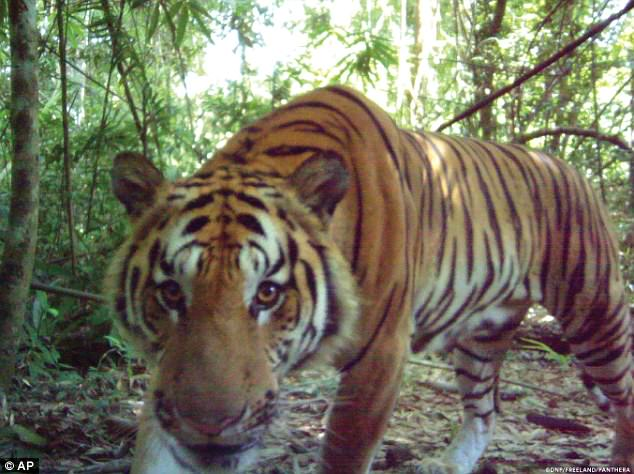 濒危野生印度支那虎重现泰国丛林