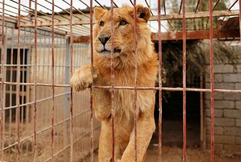 伊拉克战火致动物园荒废 动物被转移