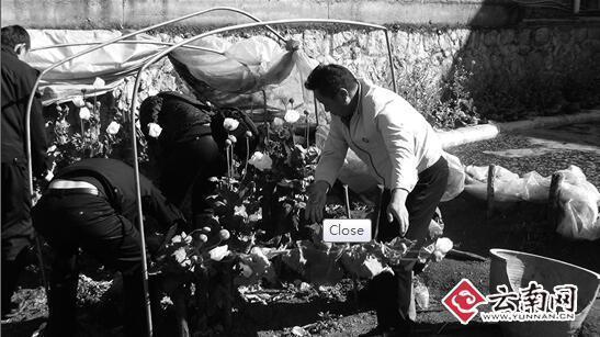 老人种200株罂粟当止咳药 称不知是毒品原材料