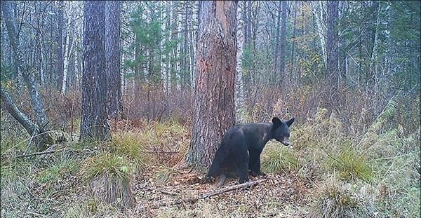 西伯利亚黑熊被饿的不能冬眠:瘦成狗
